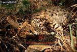 dead SERVAL Kitten (Felis serval), Ngorongoro Crater, Tanzania