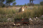 CHEETAH (Acinonyx jubatus) attacked by Lioness, Etosha National Park, Namibia