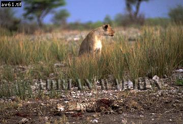 CHEETAH (Acinonyx jubatus) after attack by Lioness, Etosha National Park, Namibia