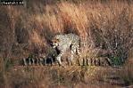 CHEETAH (Acinonyx jubatus), South Africa, 1979