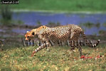 CHEETAH (Acinonyx jubatus), Ngorongoro Crater, Tanzania