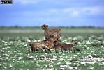CHEETAH (Acinonyx jubatus), Etosha National Park, Namibia