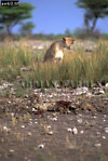 CHEETAH (Acinonyx jubatus) after attack by Lioness, Etosha National Park, Namibia