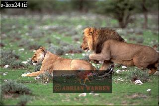LIONS (Panthera leo) Courtship, Etosha National Park, Namibia