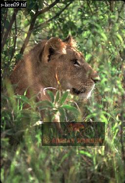 LION (Panthera leo), Masai Mara, Kenya, 1988