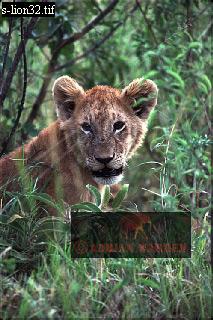 LION (Panthera leo) Cub, Masai Mara, Kenya, 1988