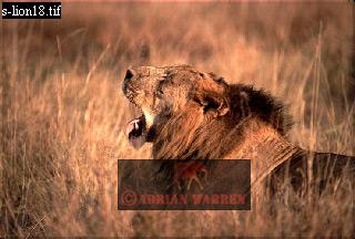 LION (Panthera leo), Akagera National Park, Rwanda, 1990