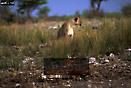 LION (Panthera leo) on guard after attack CHEETAH (Acinonyx jubatus), Etosha National Park, Namibia