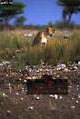 LION (Panthera leo) on guard after attack CHEETAH (Acinonyx jubatus) , Etosha National Park, Namibia