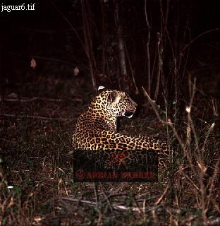 JAGUAR (Panthera onca), Llanos, Venezuela