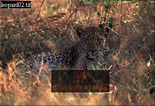 LEOPARD(Panthera pardus), Ngorongoro Crater, Tanzania
