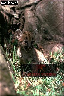 PUMA: Cub (Felis concolor), Venezuela