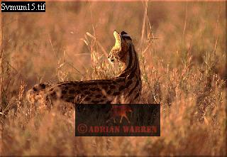 Serval (Felis serval), Ngorongoro Crater, Tanzania, 1998
