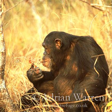 Chimpanzee (Pan troglodytes) : Freud- alpha male 23 yrs, eating Harungana madagascar, Gombe Tanzania, 1993
