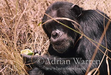 Chimpanzee (Pan troglodytes) : Prof- eats Strychnos innocua, 1993