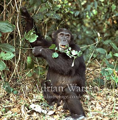Chimpanzee (Pan troglodytes) : Goblin- ex-alpha male 29 yrs, eating Asystasia gangetica, Gombe Tanzania, 1993