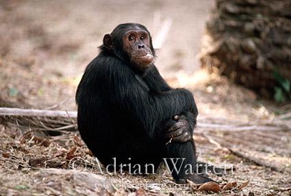 Chimpanzee (Pan troglodytes) : Gimble- male, 16 yrs, Gombe Tanzania, 1993