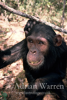Chimpanzee (Pan troglodytes) : Flossie- female 9 yrs, Gombe Tanzania, 1993