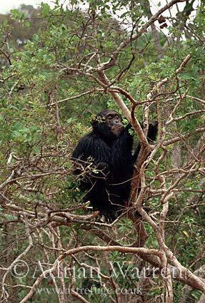 Chimpanzee (Pan troglodytes) : Freud- in Hymenocardia Tree feeding, Gombe Tanzania, 1993