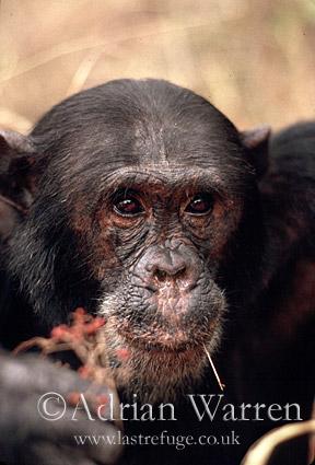 Chimpanzee (Pan troglodytes) : Freud- alpha male 23 yrs, eating Harungana fruits, Gombe Tanzania, 1993