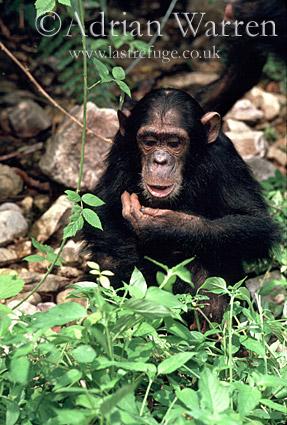 Chimpanzee (Pan troglodytes) : Eating Asystasia gangetica, Gombe Tanzania, 1993