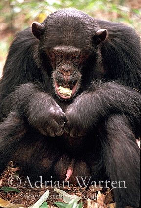 Chimpanzee (Pan troglodytes) : Freud- eating Parinari curatellifolia, Gombe Tanzania, 1993