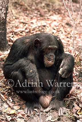 Chimpanzee (Pan troglodytes) : Freud- eating Parinari curatellifolia, Gombe Tanzania, 1993