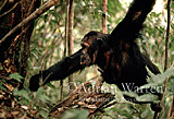 Chimpanzee (Pan troglodytes) : Prof- Fishing for Safari Ants, Gombe Tanzania, 1993