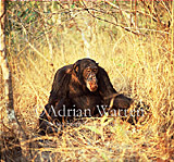 Chimpanzee (Pan troglodytes) : Freud- alpha male 23 yrs, eating Harungana madagascar, Gombe Tanzania, 1993