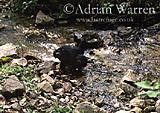 Chimpanzee (Pan troglodytes) : Faustino- 4 yrs : Drinking, Gombe Tanzania, 1993