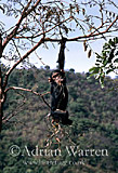 Chimpanzee (Pan troglodytes) : Flossie- in Pterocarpus tree, Gombe Tanzania, 1993