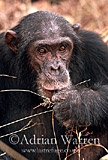 Chimpanzee (Pan troglodytes) : Freud- alpha male 23 yrs, eating Harungana fruits Gombe Tanzania, 1993