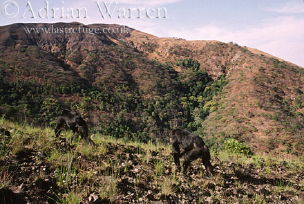 Chimpanzee (Pan troglodytes), In open Savannah country, Gombe Tanzania, 1993