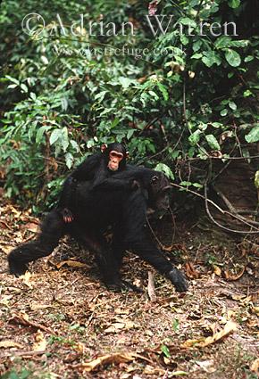 Chimpanzee (Pan troglodytes), Gombe, Tanzania, 1993