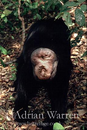 Chimpanzee (Pan troglodytes) : -Gigi- Female, 39 yrs, Gombe Tanzania, 1993