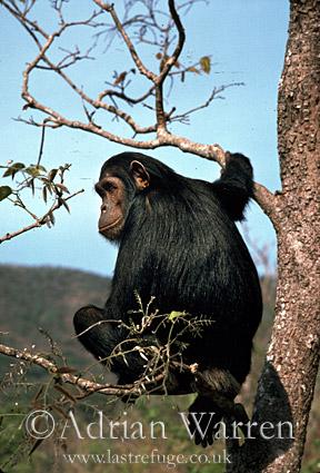 Chimpanzee (Pan troglodytes) : Flossie- sitting in Pterocarpus tree, Gombe Tanzania, 1993