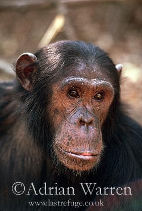 Chimpanzee (Pan troglodytes) : Gimble- male 16 yrs, portrait, Gombe Tanzania, 1993