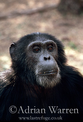 Chimpanzee (Pan troglodytes) : Goblin- ex-alpha male, 29 yrs, Gombe Tanzania, 1993