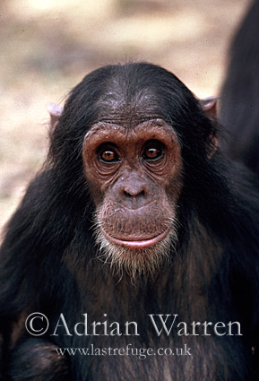 Chimpanzee (Pan troglodytes) : Galahad- infant male 5 yrs, Gombe Tanzania, 1993