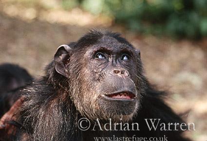 Chimpanzee (Pan troglodytes) : Fifi- female 36 yrs, Gombe Tanzania, 1993