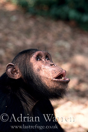 Chimpanzee (Pan troglodytes) : Gimble- pant-hoot, Gombe Tanzania, 1993