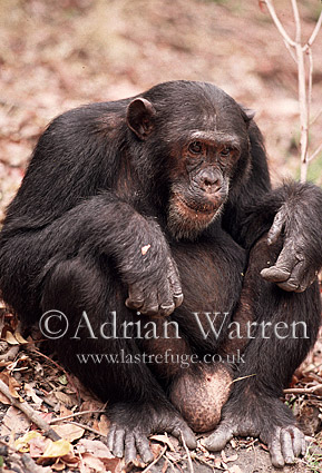 Chimpanzee (Pan troglodytes) : Freud- alpha male 23 yrs, Gombe Tanzania, 1993