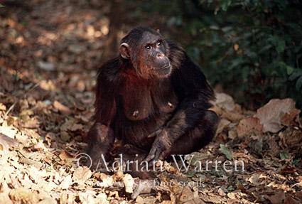 Chimpanzee (Pan troglodytes) : Fifi- female, 36 yrs, Gombe Tanzania, 1993