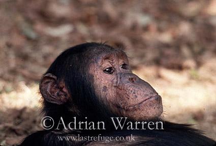 Chimpanzee (Pan troglodytes) : Gimble- male 16 yrs, Gombe Tanzania, 1993