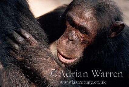 Chimpanzee (Pan troglodytes) : Gimble- male 16 yrs grooming, Gombe Tanzania, 1993