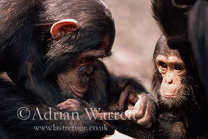Chimpanzee (Pan troglodytes) grooming, Gombe Tanzania, 1993