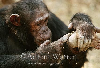 Chimpanzee (Pan troglodytes) : Gimble- self-grooming, Gombe Tanzania, 1993