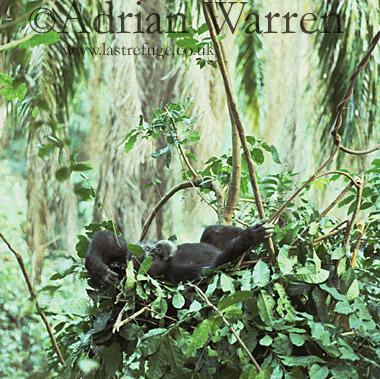 Chimpanzee (Pan troglodytes) : Freud- alpha male 23 yrs, in Night Nest, Gombe Tanzania, 1993