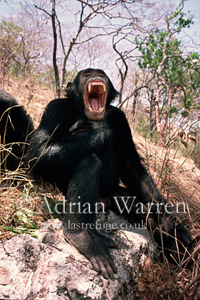 Chimpanzee (Pan troglodytes) : Gimble- male, 16 yrs: yawning, Gombe Tanzania, 1993