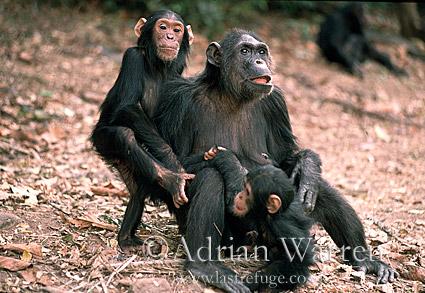 Chimpanzee (Pan troglodytes) : Fifi-, -Faustino- and -Ferdinand-, Gombe Tanzania, 1993